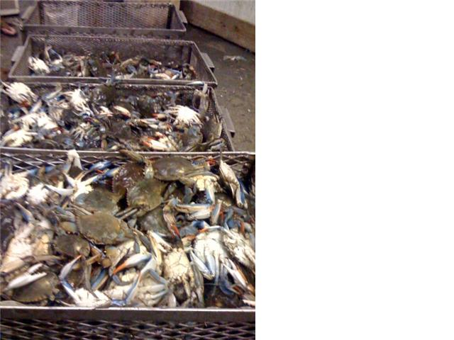 Blue Crab / Stone Crab Claw Fresh Meat or Frozen