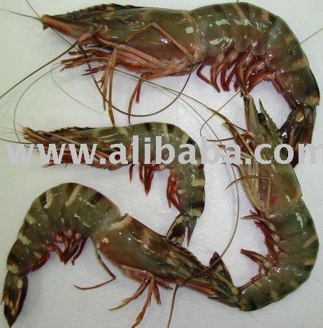 Fresh Chilled HOSO  Sea   Tiger   Shrimp s