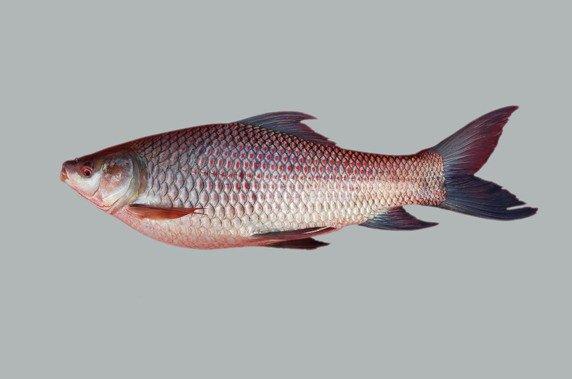 Fresh water fish rohu products singapore fresh water fish for Sweet water fish