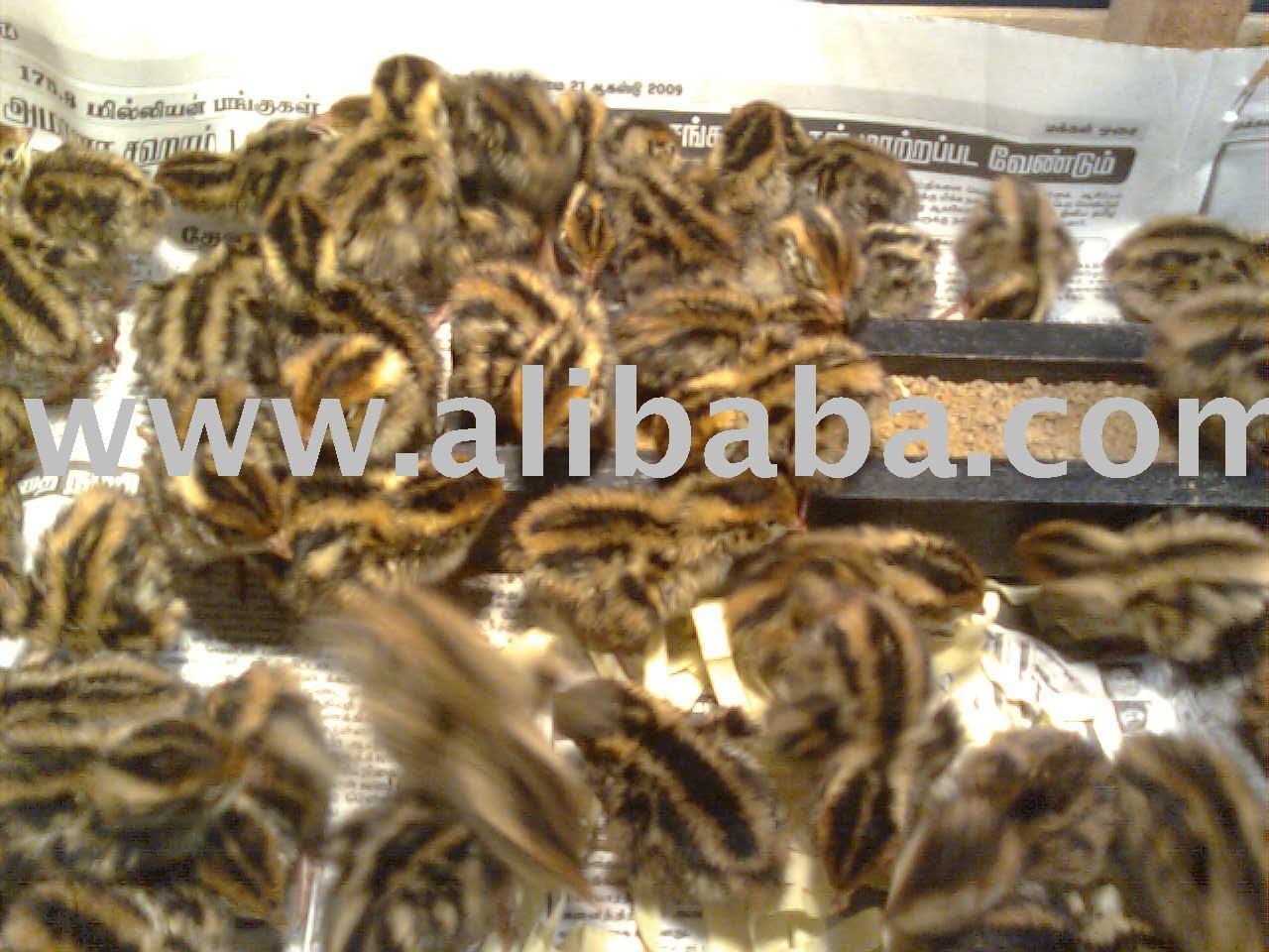 Burung Puyuh(Quail) Quail meat