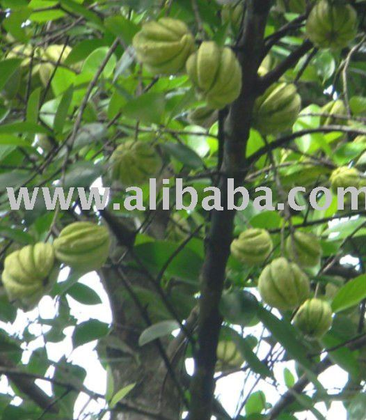 Sell Fresh Garcinia Cambogia Fruit Extract Products Indonesia Sell