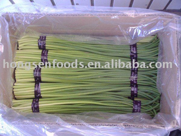 young   garlic  shoot