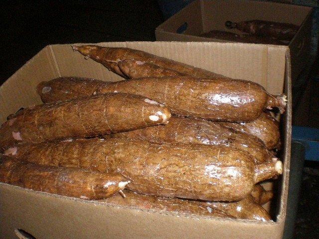 yuca cassava: