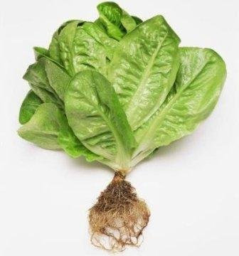 Cameron Highlands Romaine Lettuce