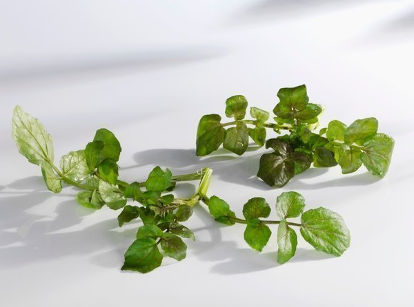 Cameron Highlands Water Cress