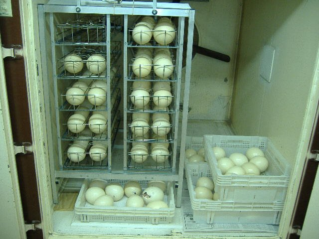 ostrich eggs and chicks
