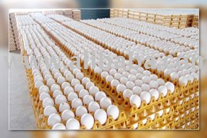 FARM FRESH POULTRY INDIAN WHITE SHELL CHICKEN TABLE EGGS.