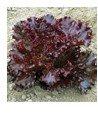 Clark Valley Organic Farm Red Leaf Lettuce