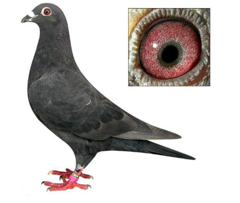 race pigeon,king pigeon,system pigeon