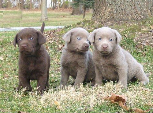 Labrador Retriever 4 Sale Retriever Puppies For Sale