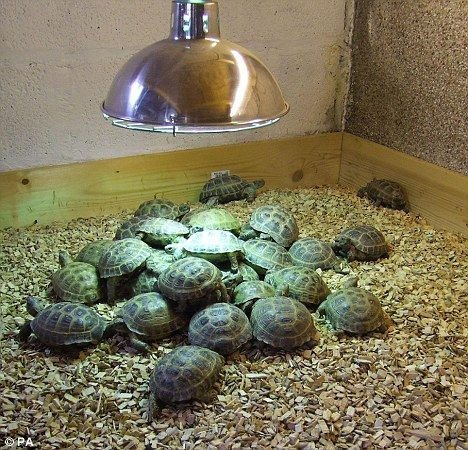 Tortoises And Turtles For Sale Products Cameroon Tortoises