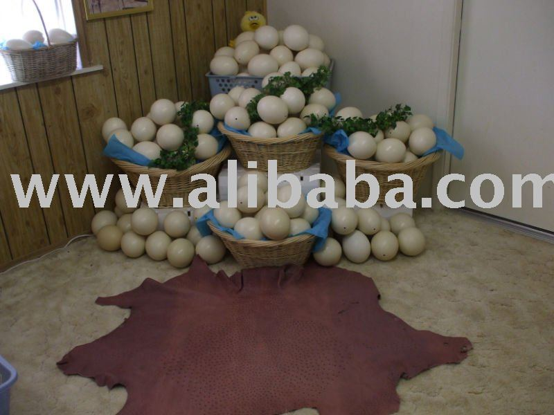FRESH FERTILE OSTRICH EGGS FOR SALE
