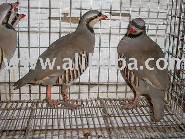 Healthy chukar for sale products,Cameroon Healthy chukar for sale