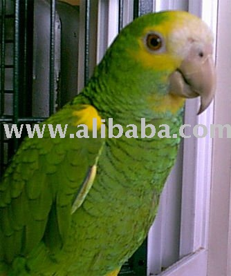 AMAZONS PARROTS OF ALL SPECIES READY FOR EXPORT