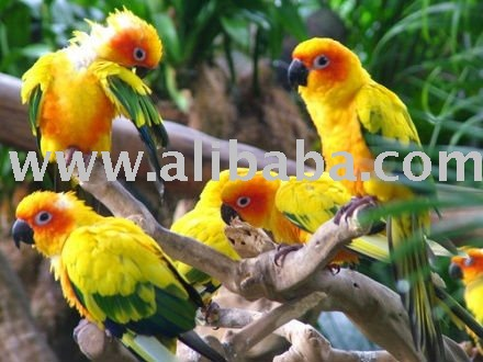 CONURES PARROT AND FERTILE EGGS FOR EXPORT