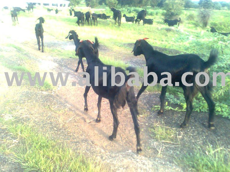 goat   sheep live stock in