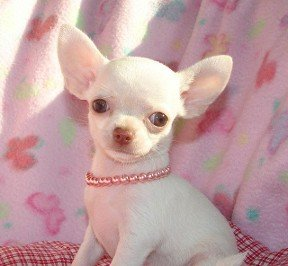 Chiwawa Puppies on Chihuahua Puppies Products Cameroon Chihuahua Puppies Supplier