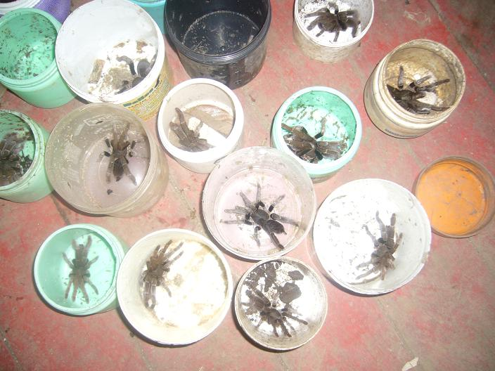 Tarantulas, insects, Centipedes,Scorpions