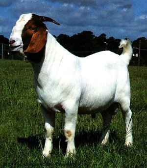 Apologise, but, nubian goat sperm for sale apologise