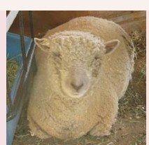 live sheep NABSSAR Reg. #10469 Janie
