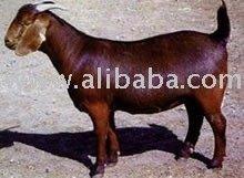 Meat Goats Breeder Goats