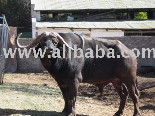 Disease Free Buffalo breeding project