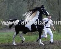 black friesian horse for sale products,Cameroon black friesian horse
