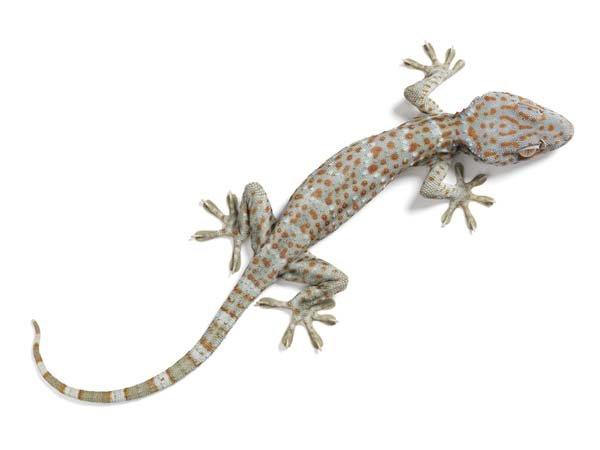 tokay gecko (tokek)