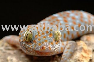 Live Tokay Gecko For Sale