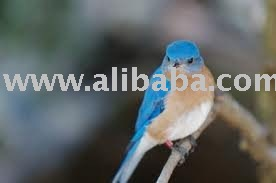Turdidae Birds and Fertile Eggs for sale