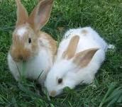 flemish rabbits