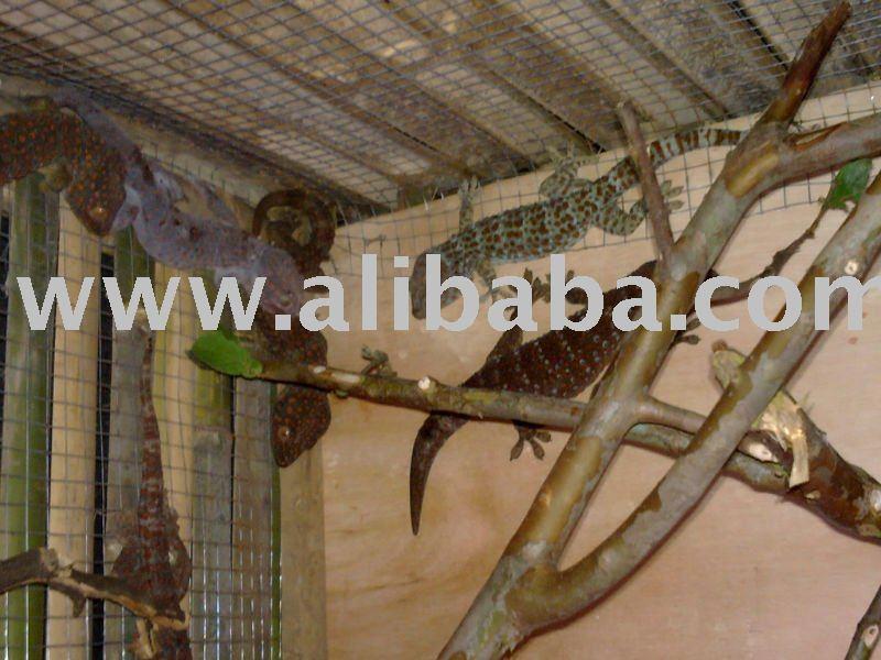 Tokay Gecko Indonesia