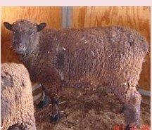 live sheep NABSSAR Reg. #10469 Sadie