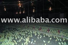 Healthy and vaccinated Day old broiler chickens for sale.
