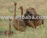 Ostrich chicks  and Fertile hatching Eggs