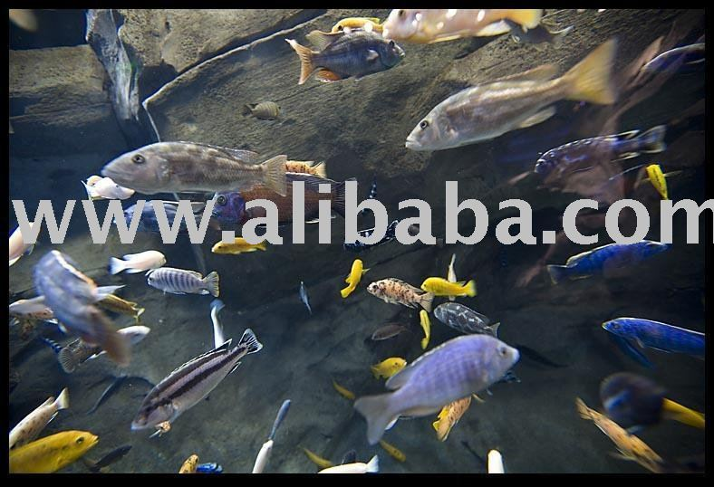 Freshwater Fish for sale.