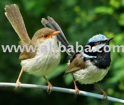 Wrens Birds and Fertile Eggs for sale