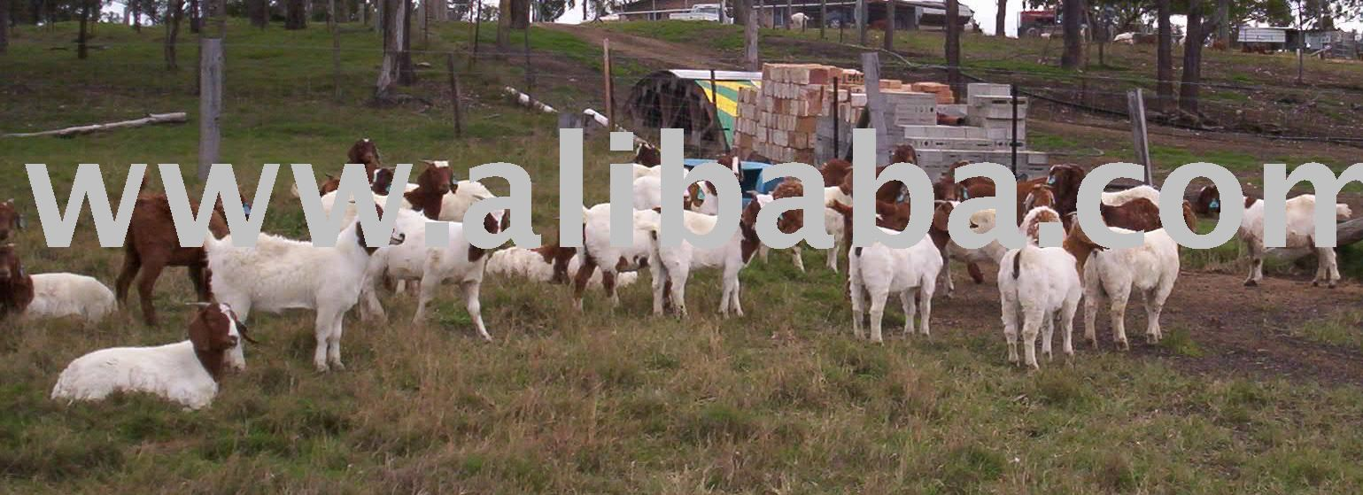 Goats - Meat - breeders
