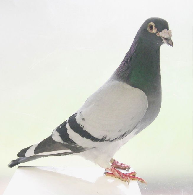 Top quality racing pigeons from Belgium and The Netherlands