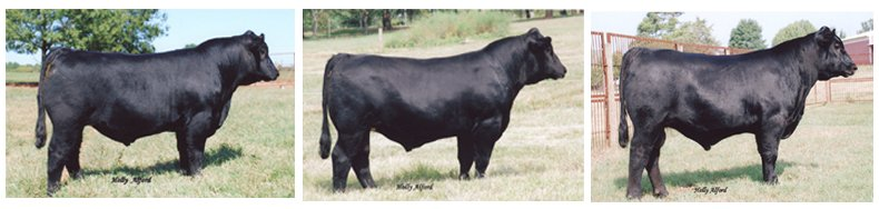 BEEFALO CATTLE/ ANGUS-BISON products,Cameroon BEEFALO CATTLE/ ANGUS ...