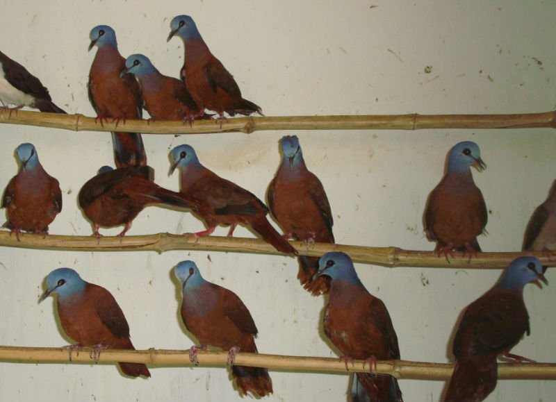 Exotic Birds products,Ghana Exotic Birds supplier