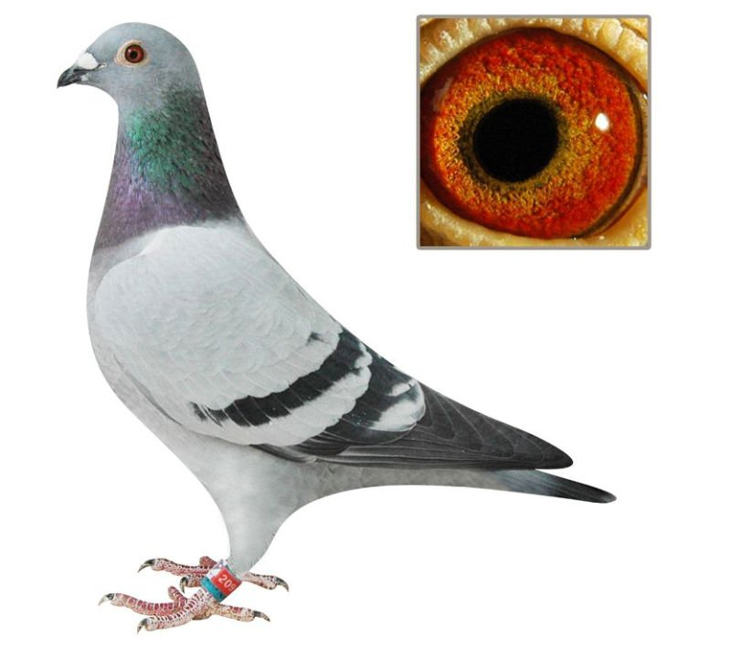 Good pigeon for racing pigeons