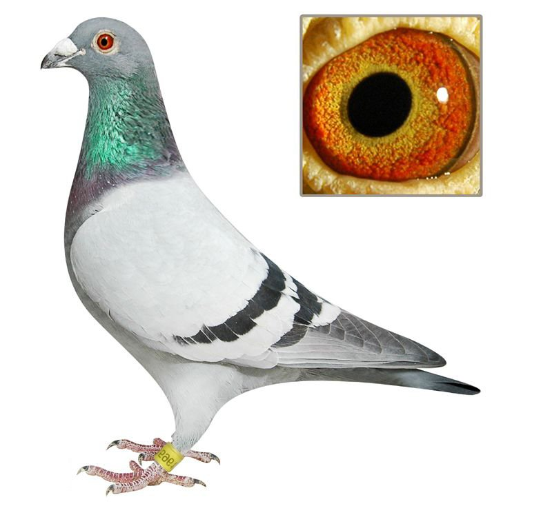 Good pigeon for racing pigeons,king pigeons,utility pigeons