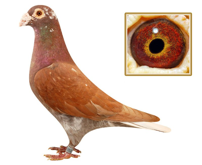 Good pigeon for racing pigeons,king pigeon ring,system pigeon