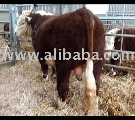 Hereford Bull For Sale