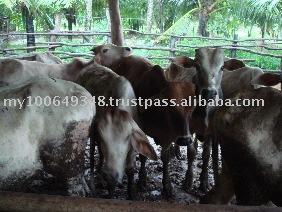 KK Cattle Thailand