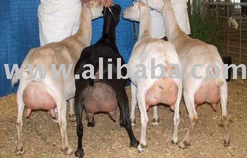 Lamancha Buck Goats