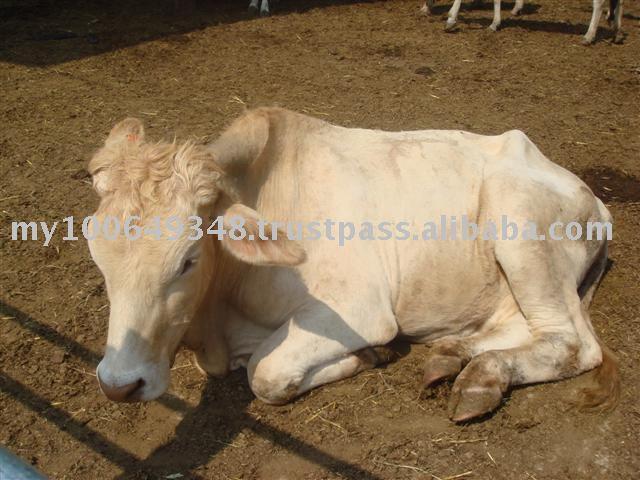 Farm Malaysia Malaysia Cattle Farm