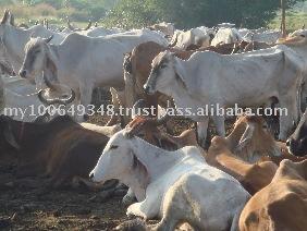 Thailand Cattle for Eksport