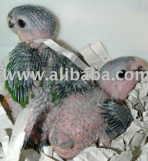 Baby CAIQUE PARROTS products,Cameroon Baby CAIQUE PARROTS